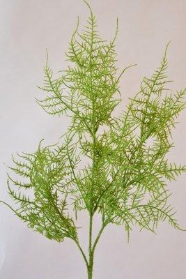 Asparagus, 70cm